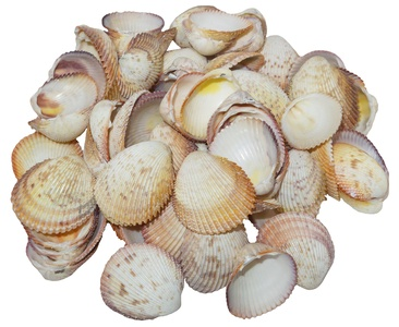 U.S. Shell, Inc. 05206 Rose Cockle Shells