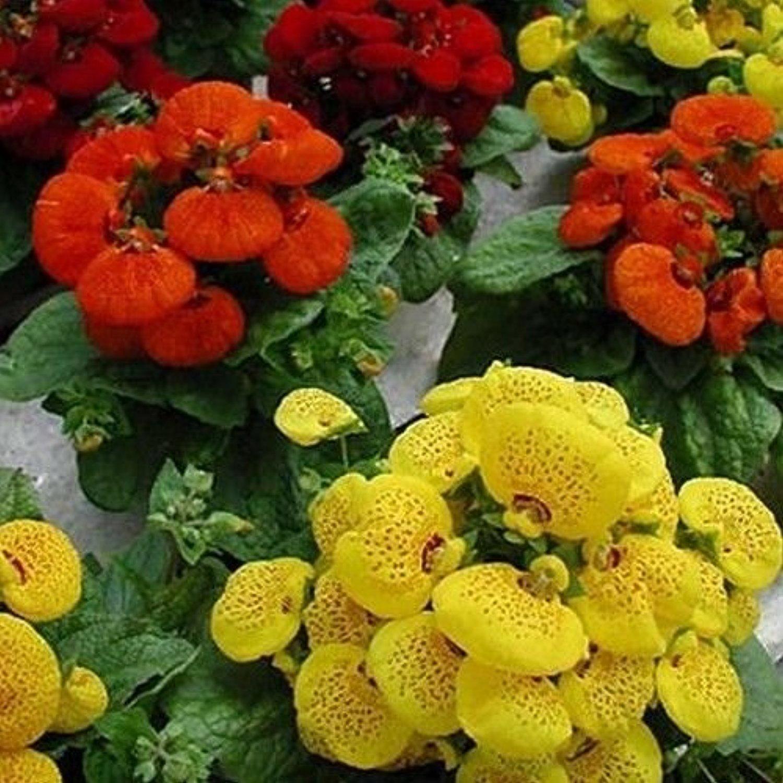 Кальцеолярия выращивание из семян в домашних условиях фото пошагово