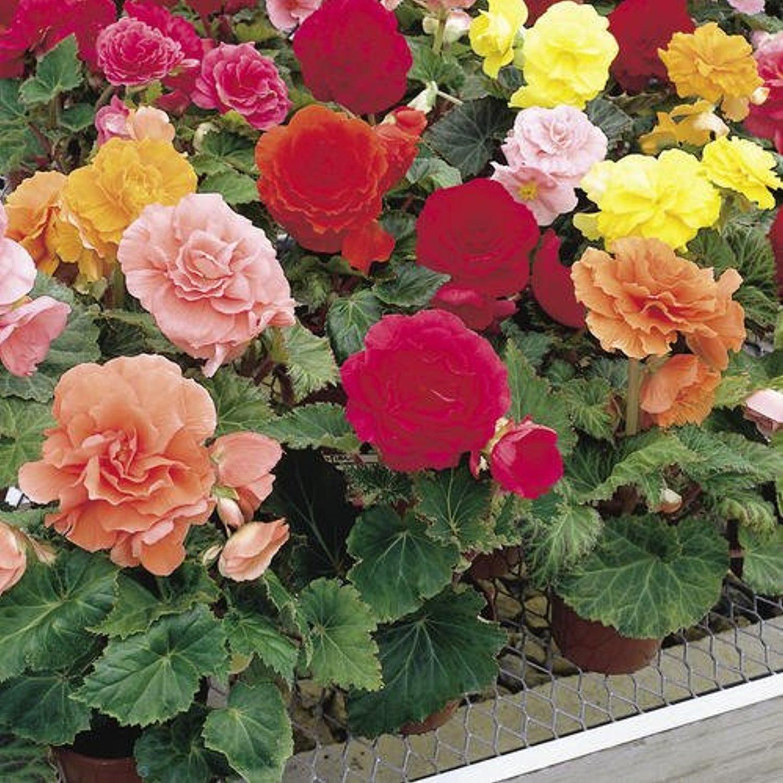 Бегония садовая: особенности выращивания и ухода, методы 79