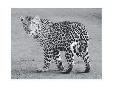 Wild Cheetah Poster Print Art, 11 x 14 Inches, Black White Grey Color, Modern Home Decor
