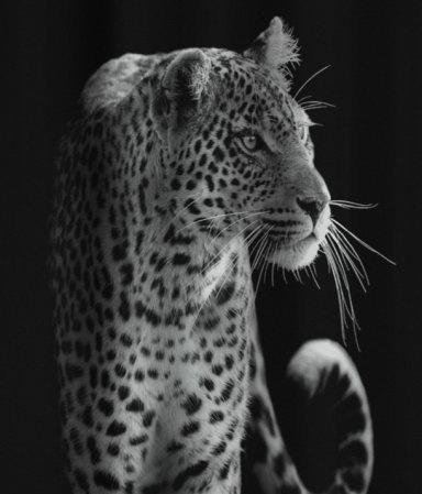 Leopard Printed Black Shower Curtain