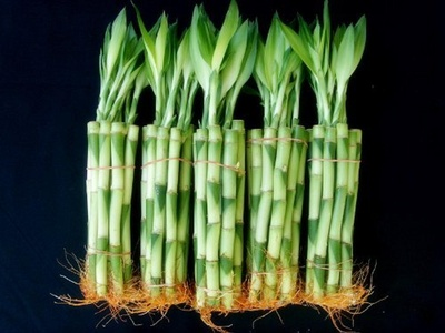 50 Stalks (5 Bundles) of 8 Inches Straight Lucky Bamboo Plants From Jm Bamboo by JM BAMBOO